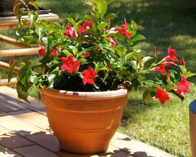Комнатный цветок дипладения: фото, уход иразмножение