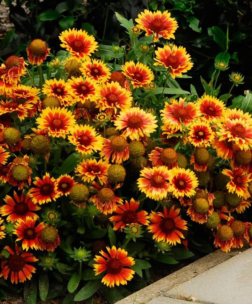 Гайлардия: посадка и уход, выращивание из семян