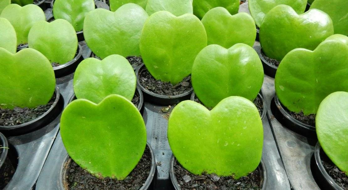 Хойя керри вариегатная: фото растения и рекомендации по уходу