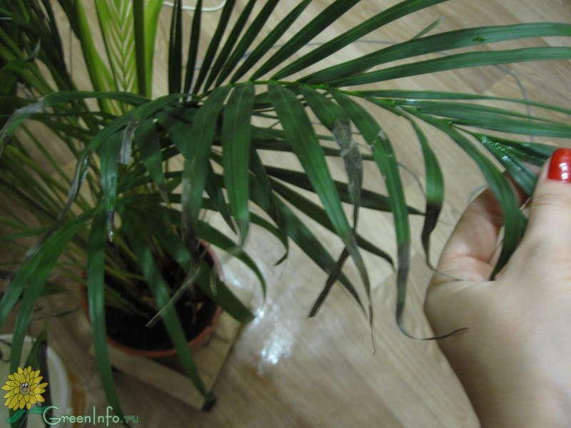 Как размножить пальму в домашних условиях: советы для начинающих