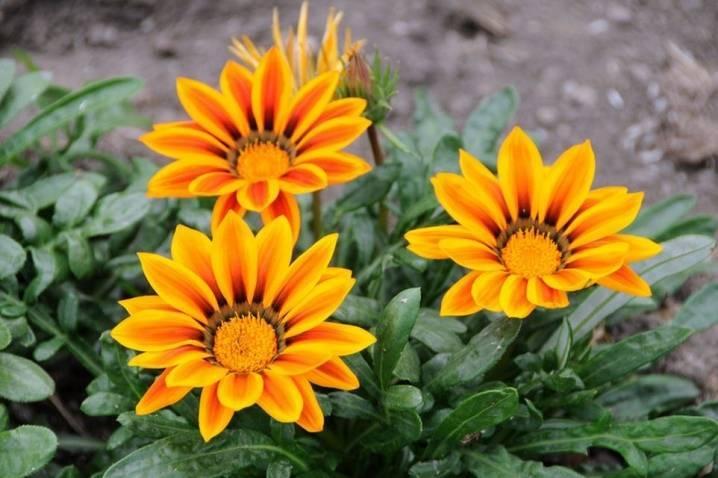 Гацания: всё о выращиванииафриканских ромашек в саду