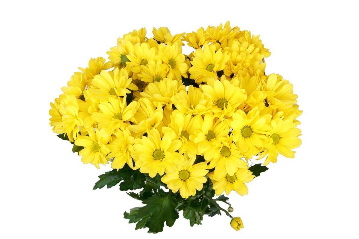 Хризантемы мультифлора: сорта и их описание с фото