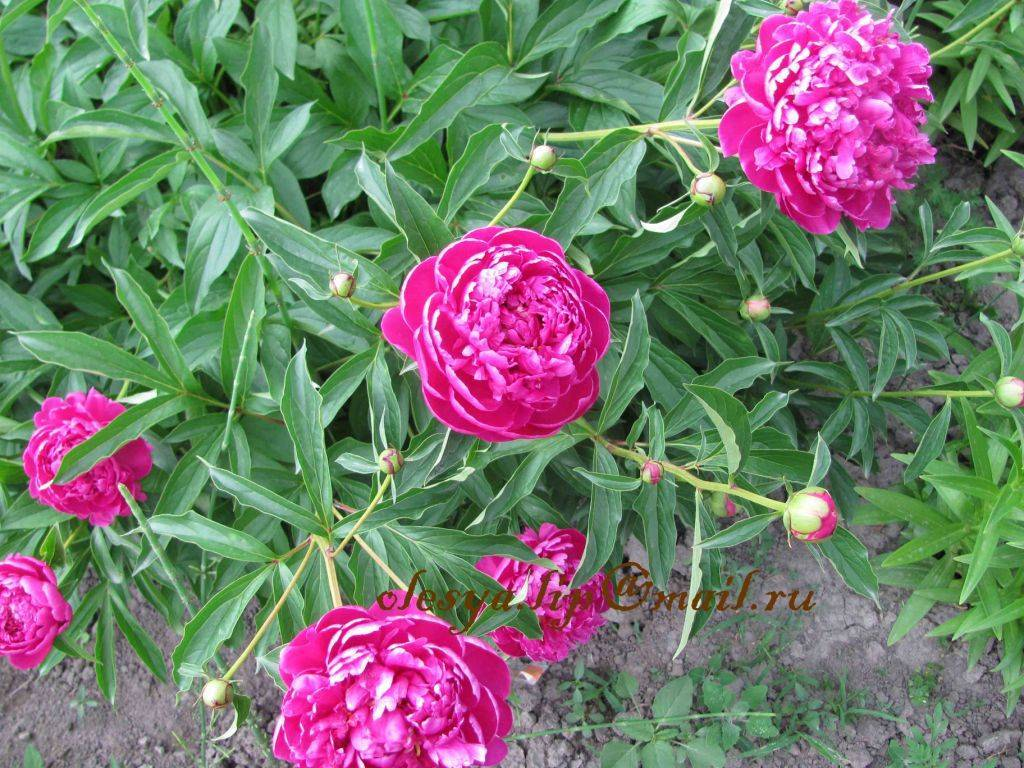 Пион феликс краусс (paeonia felix crousse – посадка и уход