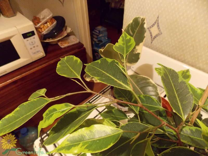 Пересадка фикуса в домашних условиях: когда и как правильно?фото