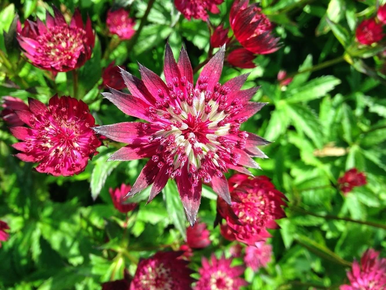 Астранция крупная (53 фото): посадка и уход в открытом грунте за травянистым растением astrantia major, сорта «розея» и «альба»