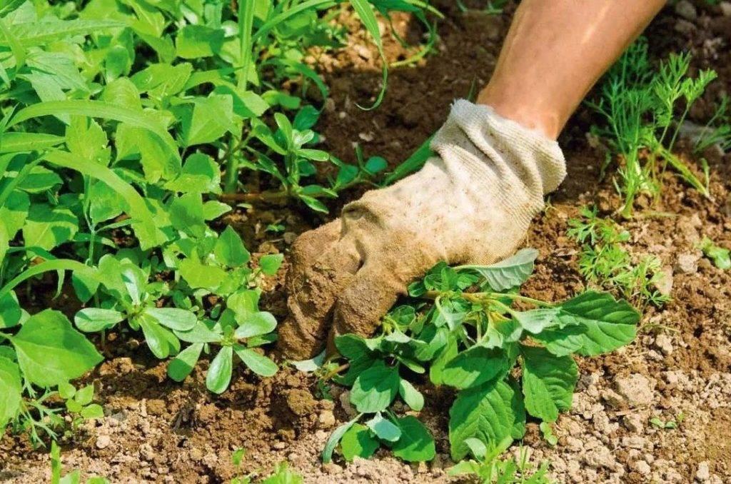Как избавиться от вьюна в огороде навсегда: советы, видео
