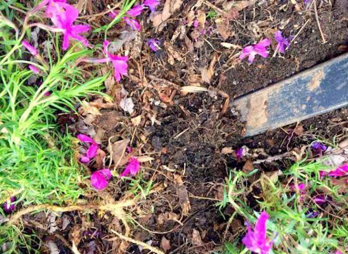 Выращивание и уход за флоксом шиловидным, фото