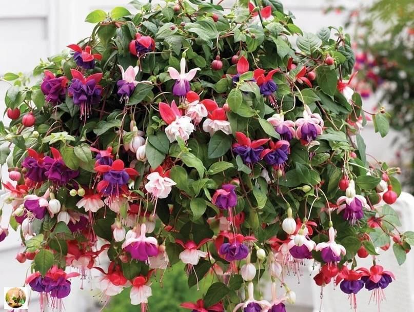 Фуксия выращивание и уход в саду: инструкция, особенности, а также какие болезни могут возникнуть у растения и как подготовить к высадке?