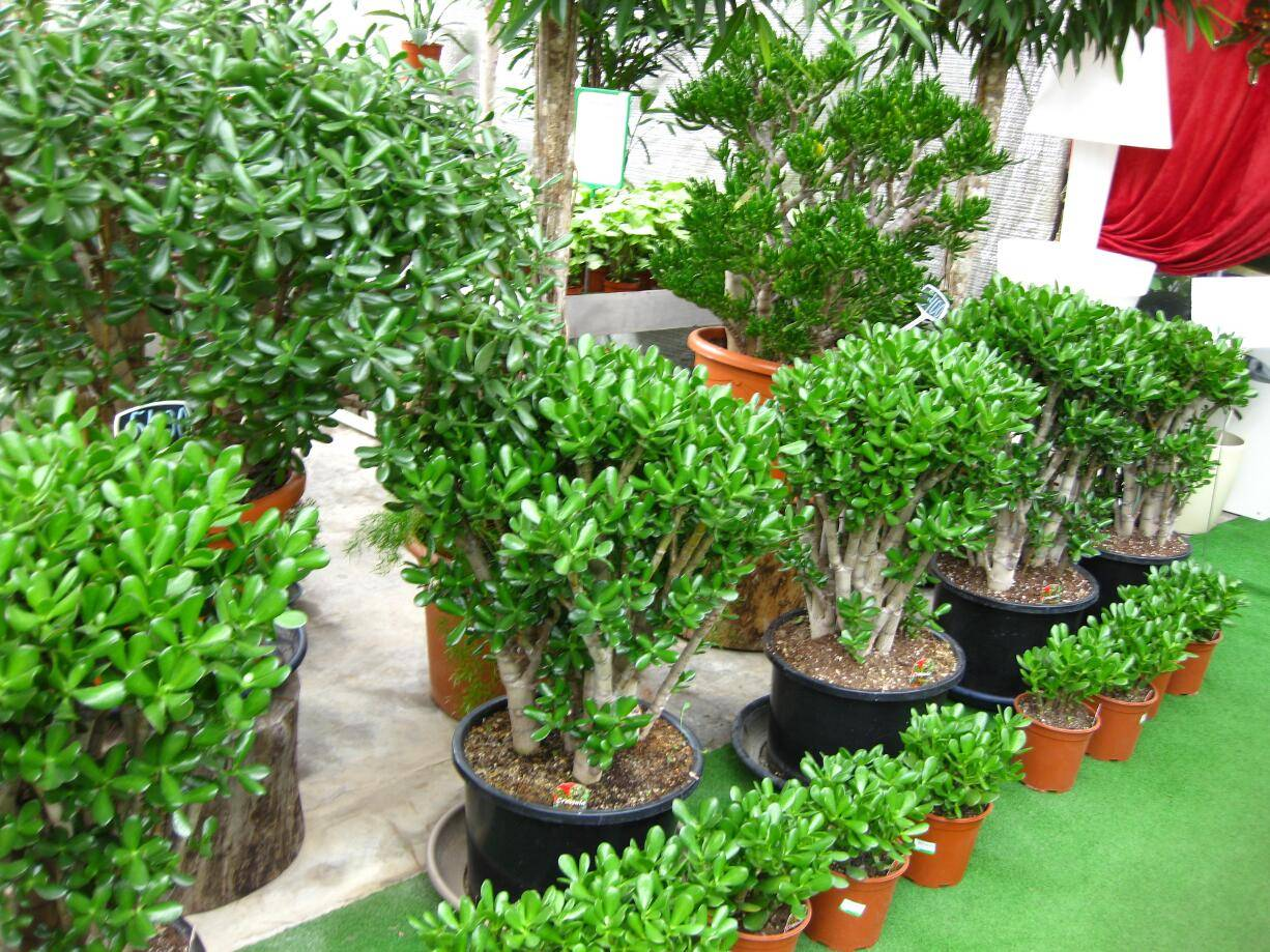Денежное дерево (толстянка) - выращивание, уход