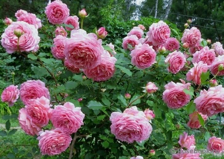 Описание розы сорта анни дюпрей из группы высоких флорибунд: выращивание шраба