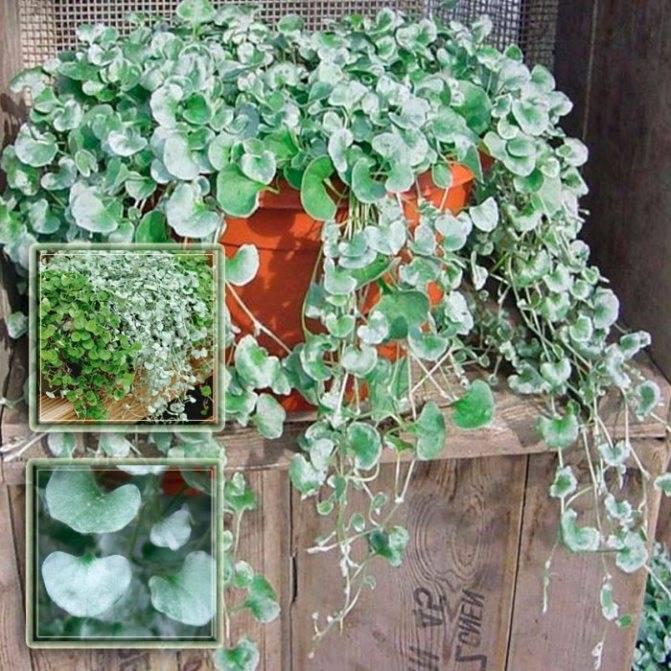 Дихондра «изумрудный водопад»: выращивание из семян, посадка и уход