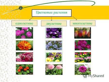 Садовая фиалка: фото и описание сортов и видов (душистая, трехцветная, рогатая и корейская)