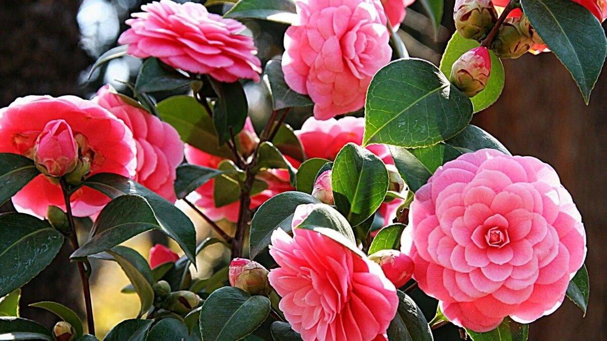 Цветок камелия: фото, описание видов и размножение комнатного растения в домашних условиях