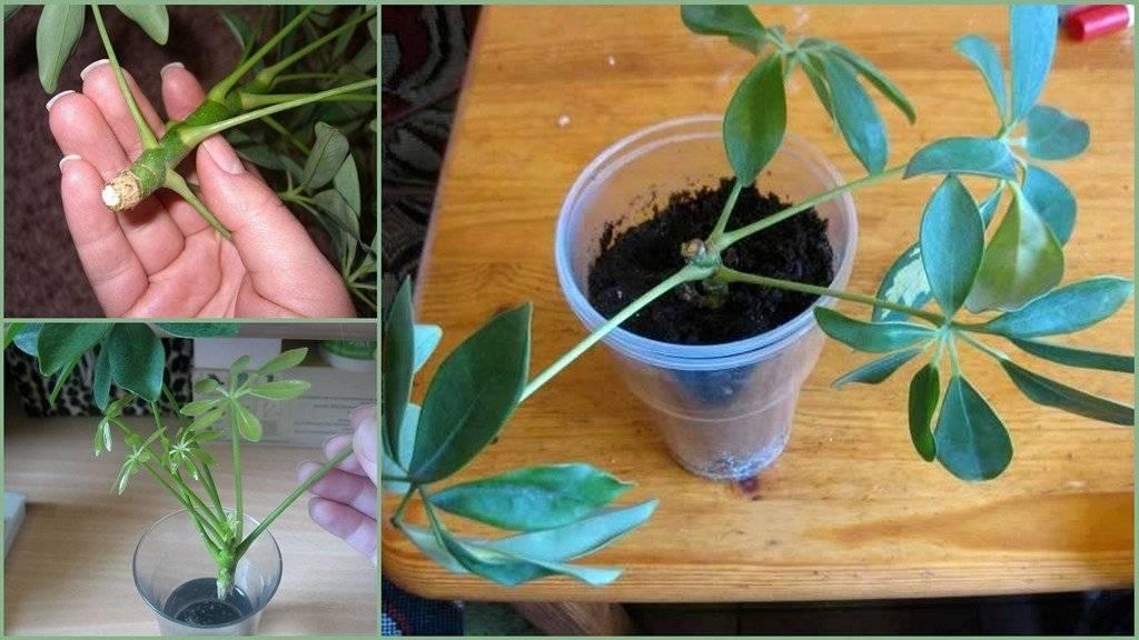 Шеффлера размножение: интересные способы и примеры посадки