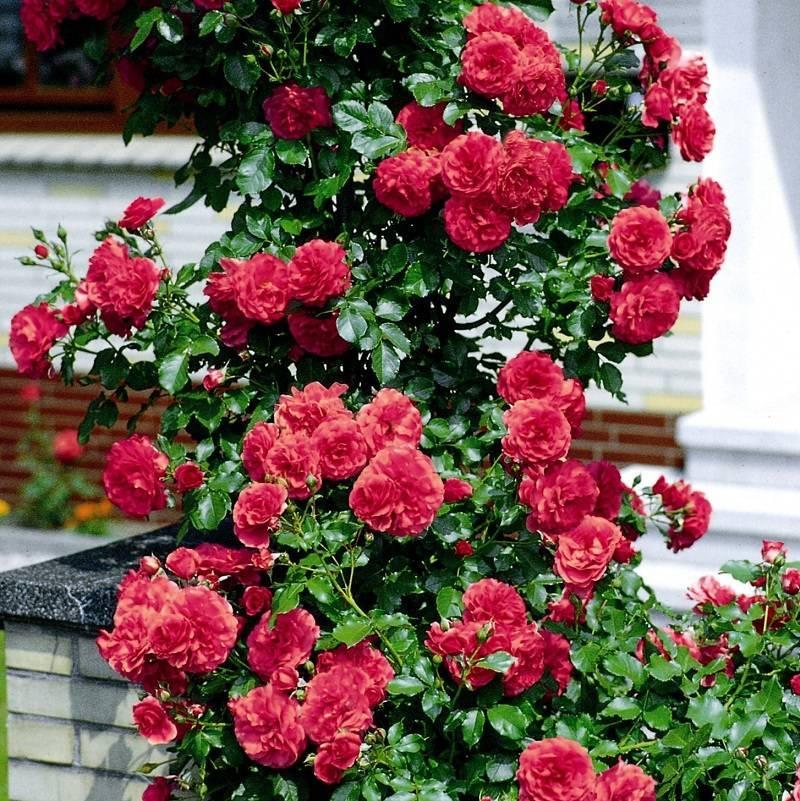 Роза «симпатия»: топ советов по выращиванию