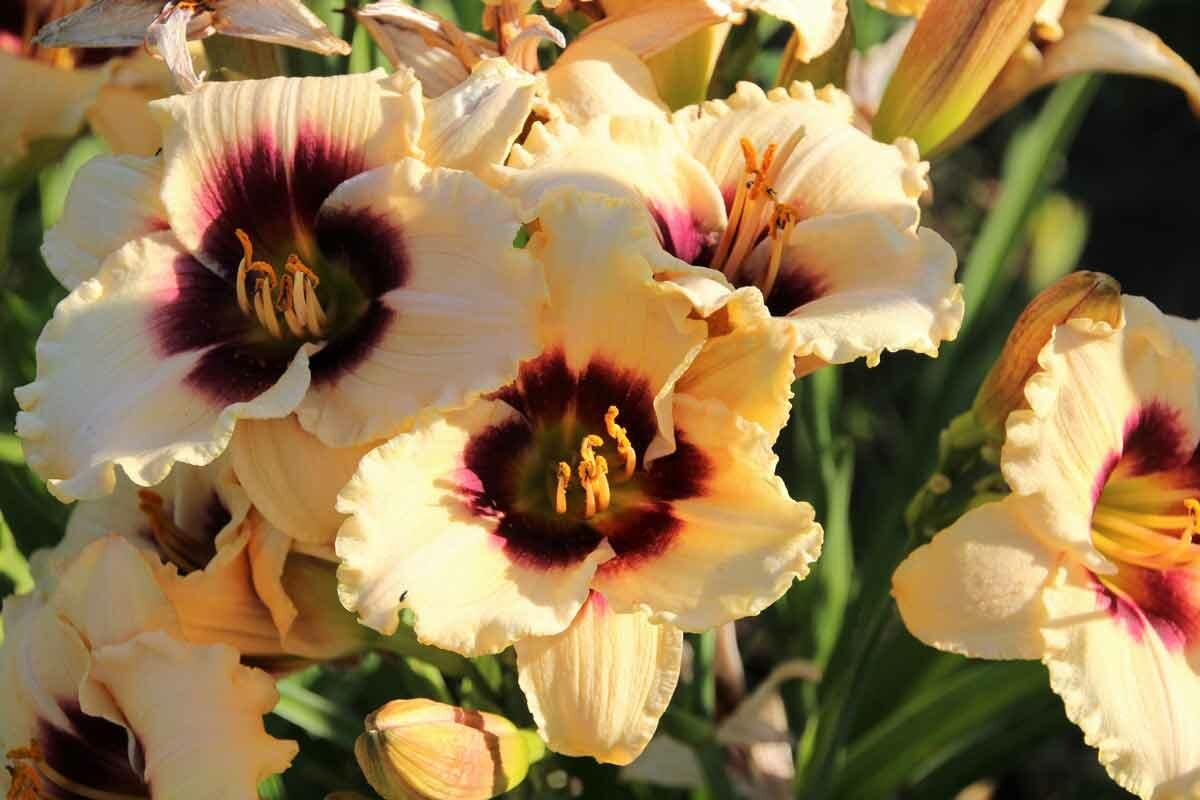 Биологические характеристики лилейника, сорта: правила ухода и посадки в открытый грунт