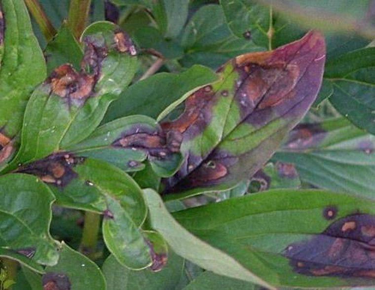 Болезни и вредители пионов (22 фото): описание и способы лечения. как избавиться от муравьев? почему цветы плохо растут? обработка от серой гнили