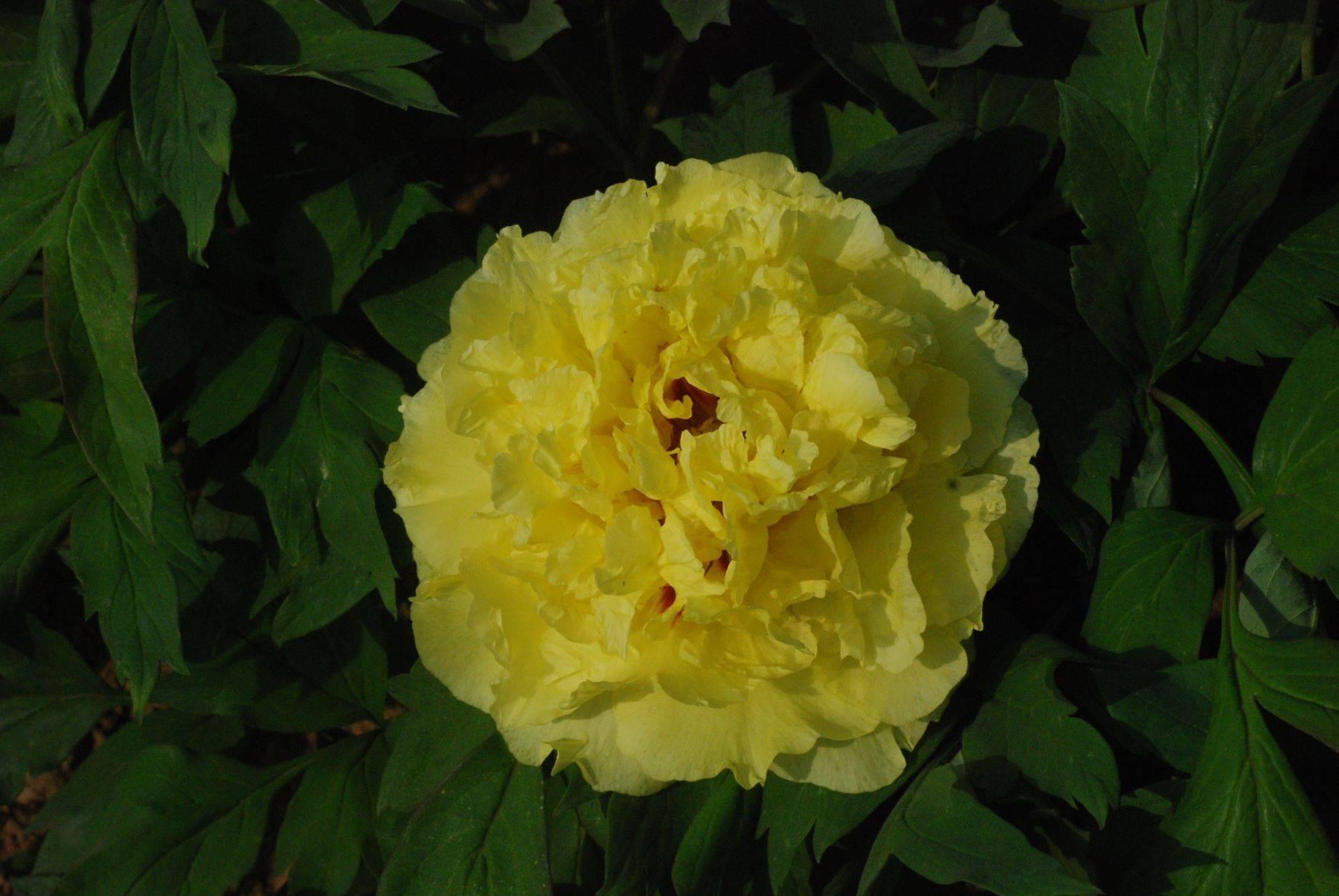 Описание сортов желтых пионов, уход и посадка