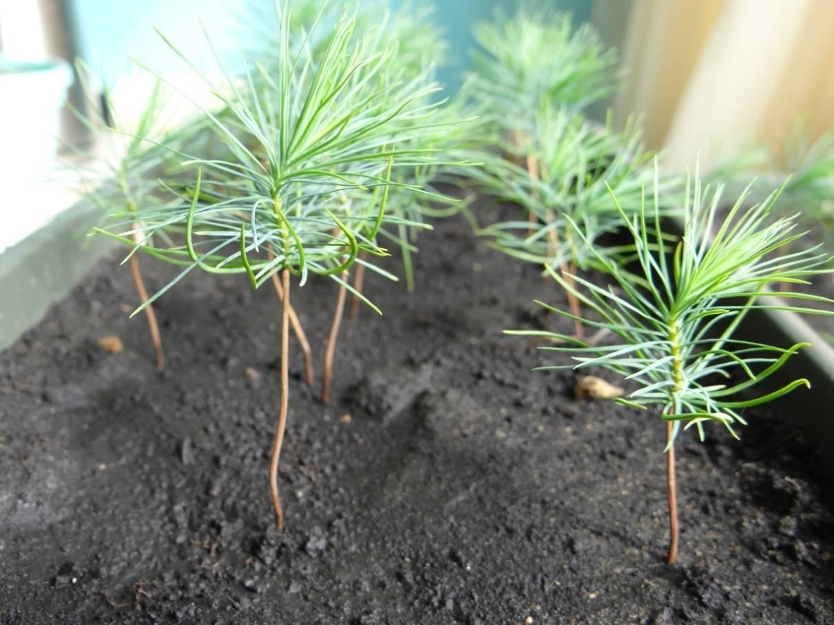 Как прорастить и посадить кедр из орешка в домашних условиях