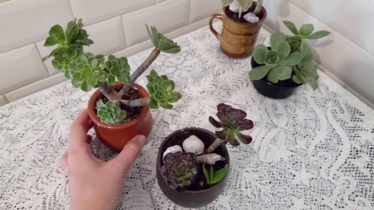 Цветок эониум древовидный - уход в домашних условиях