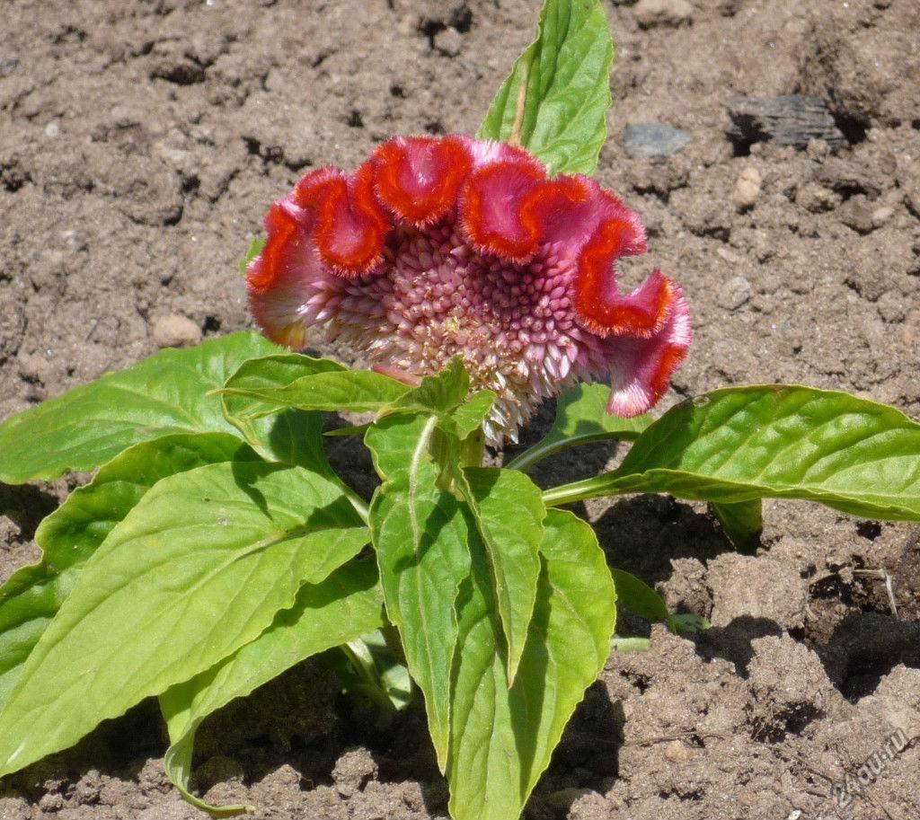 Целозия — выращивание из семян и рассады, посадка в грунт и правила ухода + 80 фото