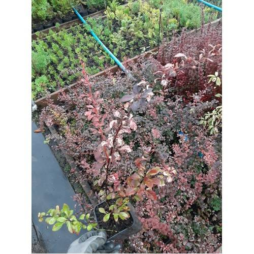 Выращивание барбариса арлекин на улице: как ухаживать, поливать, подкармливать
