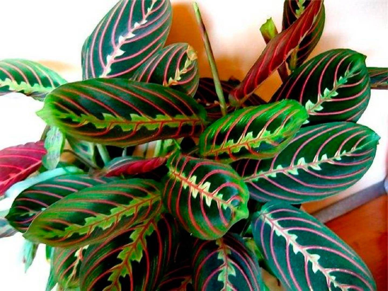 Маранта: виды трехцветная или триколор, двухцветная, фасцинатор, керховена