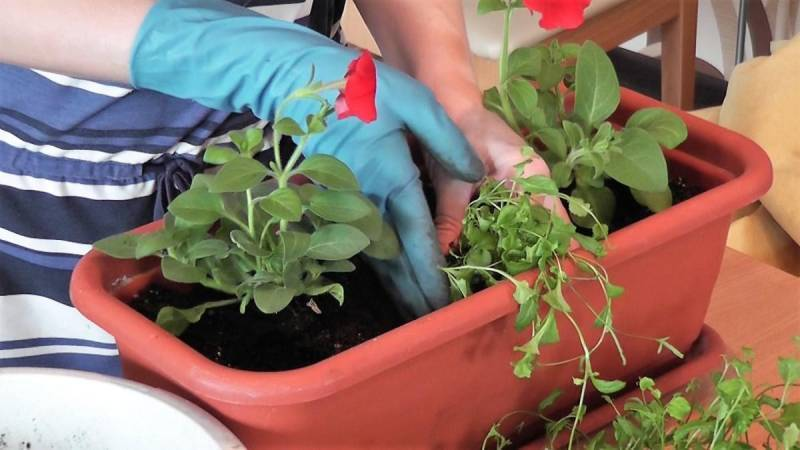 Уход за рассадой петунии в домашних условиях
