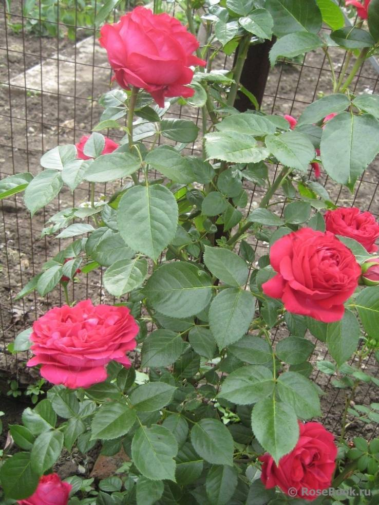 Роза эрик таберли: расписываем по пунктам