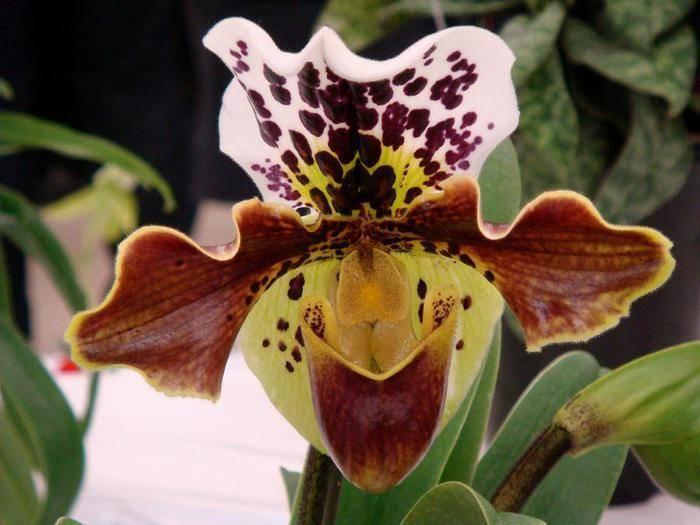 Орхидея пафиопедилум венерин башмачок: для начинающих цветоводов. уход, удобрение, болезни.