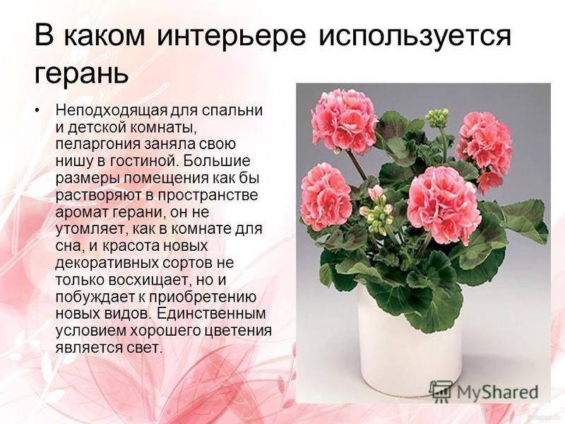 Душистая герань: что это такое, цветет ли или нет и виды пахучих комнатных растений, включая ароматнейшую пеларгонию, размножение в домашних условиях черенками, фото