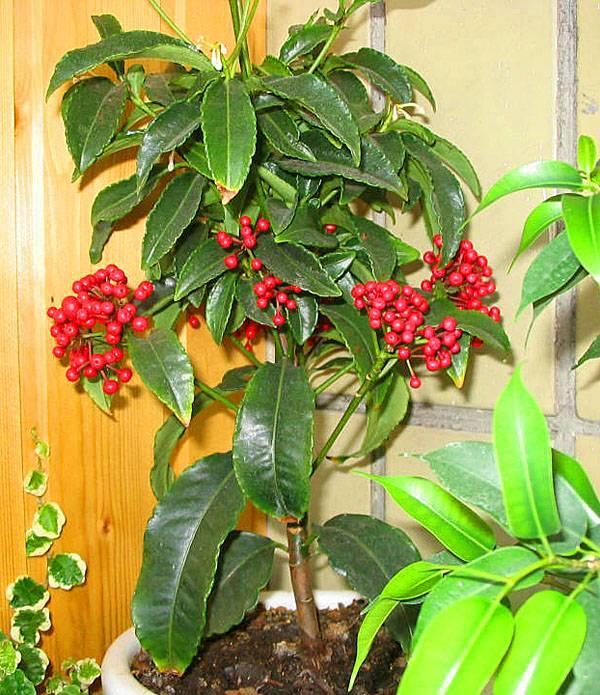 Ардизия: фото цветка, описание растения, распространенные виды и правила ухода