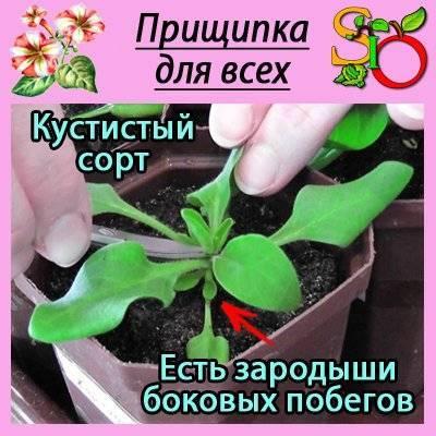 Секреты, как правильно прищипывать петунию для обильного цветения и кустистости.   садовый участок