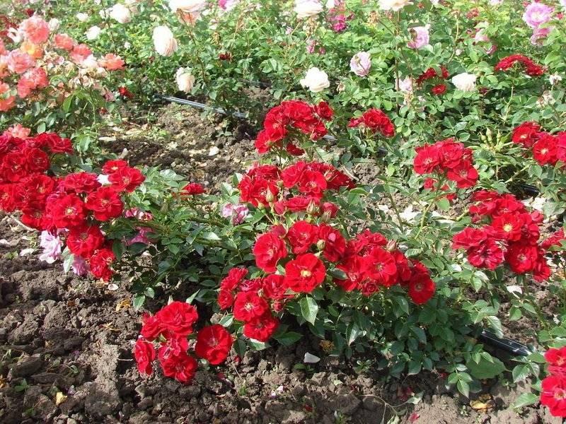 Почвопокровные розы в ландшафтном дизайне: как сделать шикарный розарий
