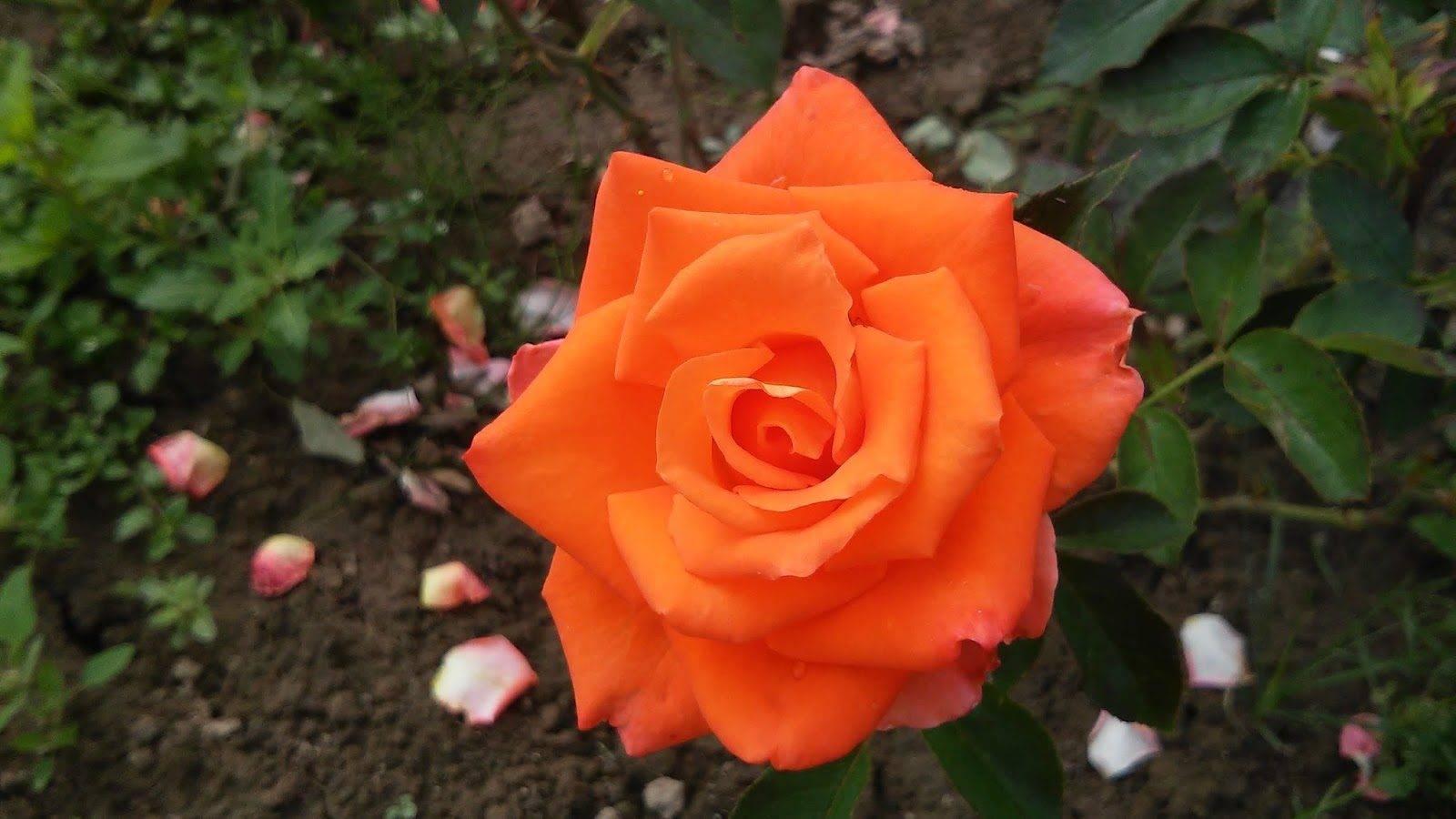 Чайно-гибридные розы: фото и видео лучших сортов с названиями и описанием, чайно-гибридные розы в саду