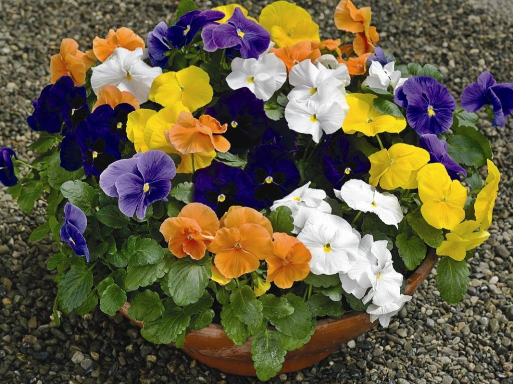 Выращивание виолы из семян (18 фото): как правильно посадить ее на рассаду и ухаживать за цветами после всходов в домашних условиях?