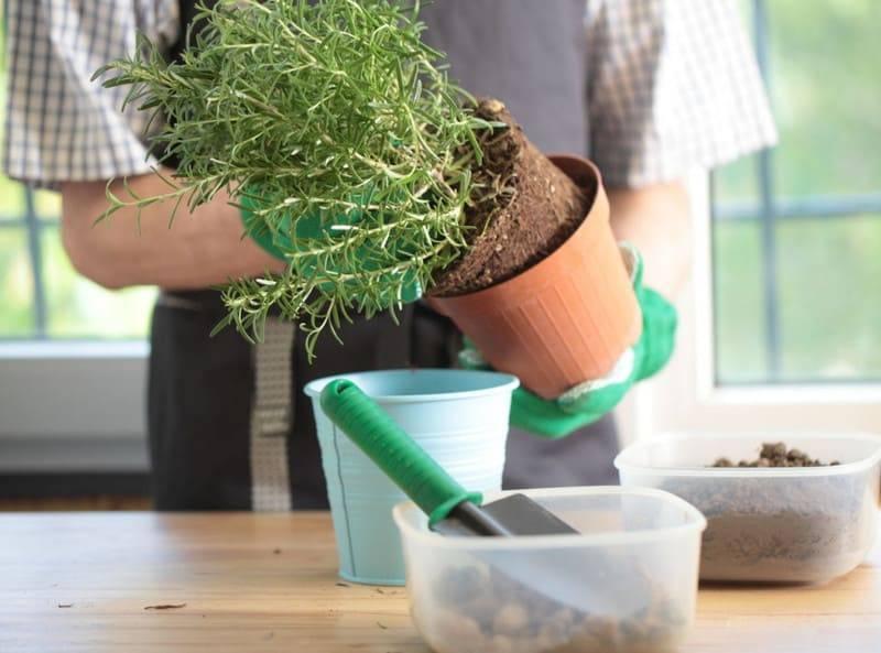 Размножение розмарина в домашних условиях: какие методы, укоренение, черенкование