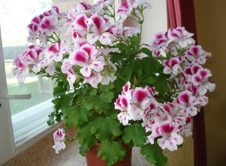 Пеларгония — самая выносливая из красивоцветущих