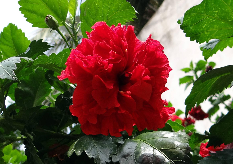 «сумасшедшая роза», или гибискус изменчивый (hibiscus mutabilis): описание, фото, выращивание дома