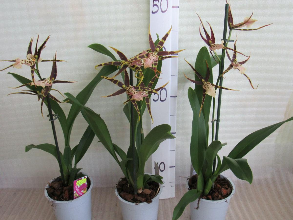 Орхидея камбрия: описание разновидностей и условия выращивания