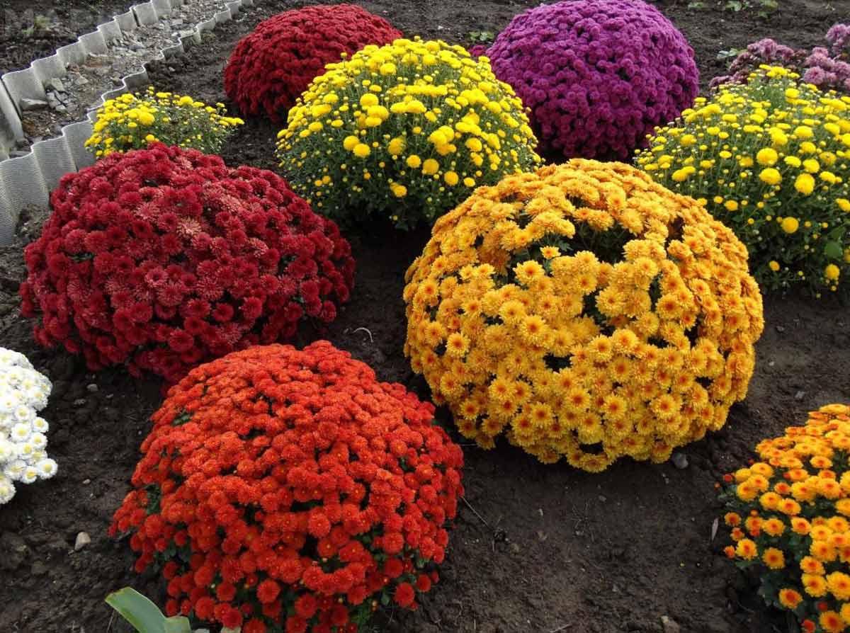 Посадка хризантемы мультифлора и уход за ней в открытом грунте: шаровидные сорта
