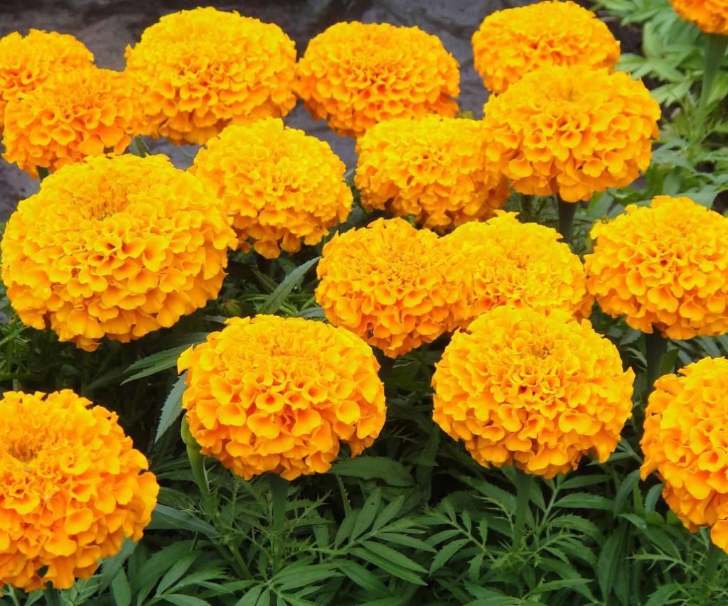 Цветы бархатцы — посадка и уход в открытом грунте