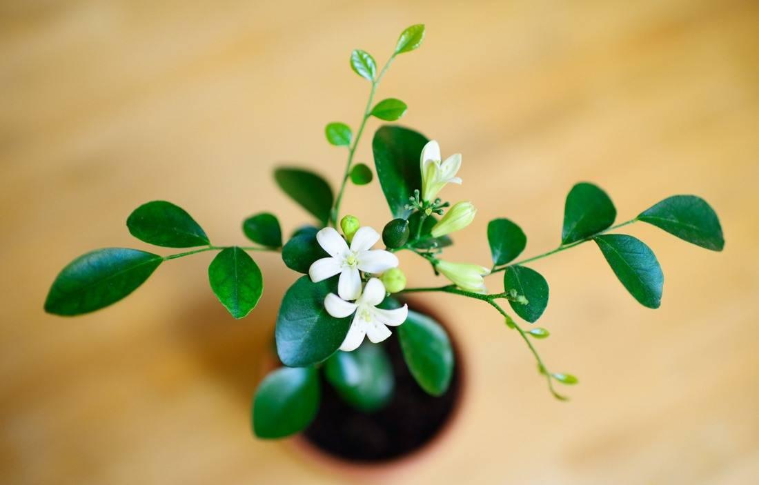 Цветок мурайя: уход в домашних условиях, фото, выращивание из семян