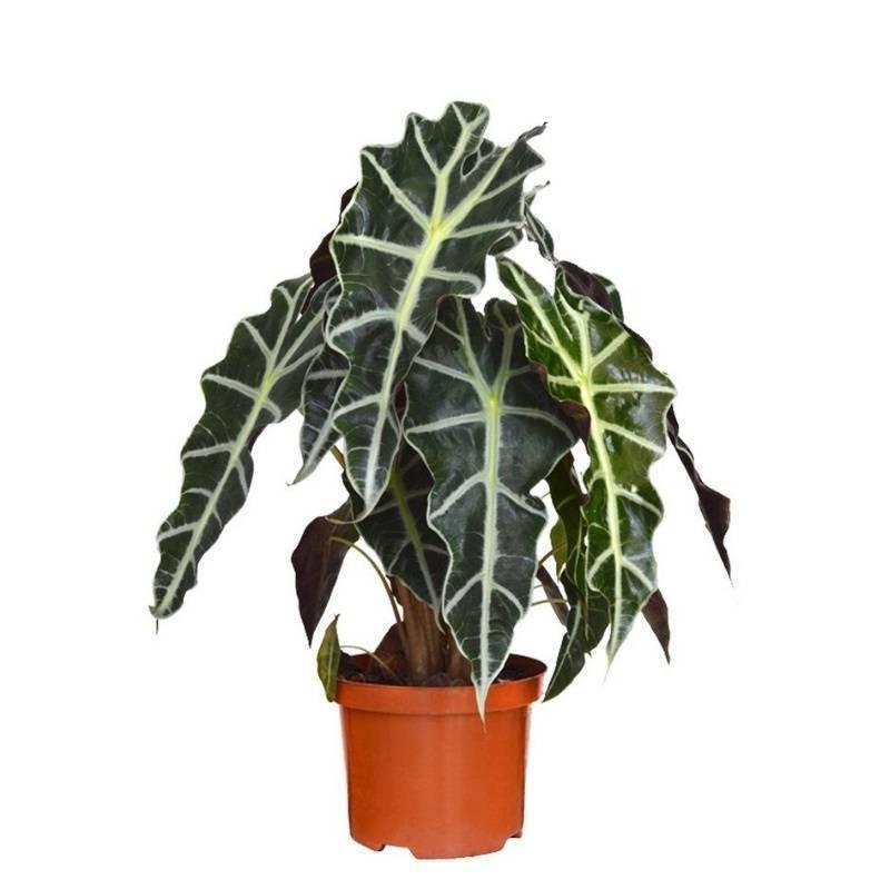 Алоказия цветок — домашнее и уличное растение