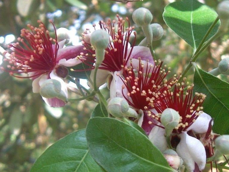 Фейхоа — диковинное растение с названием лёгким, как дыхание ветра