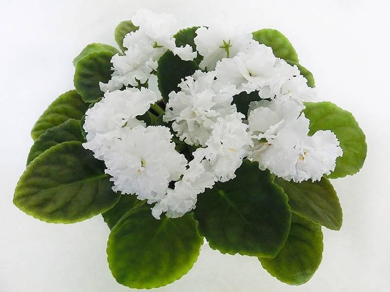 Фиалка свадебный букет — описание цветка