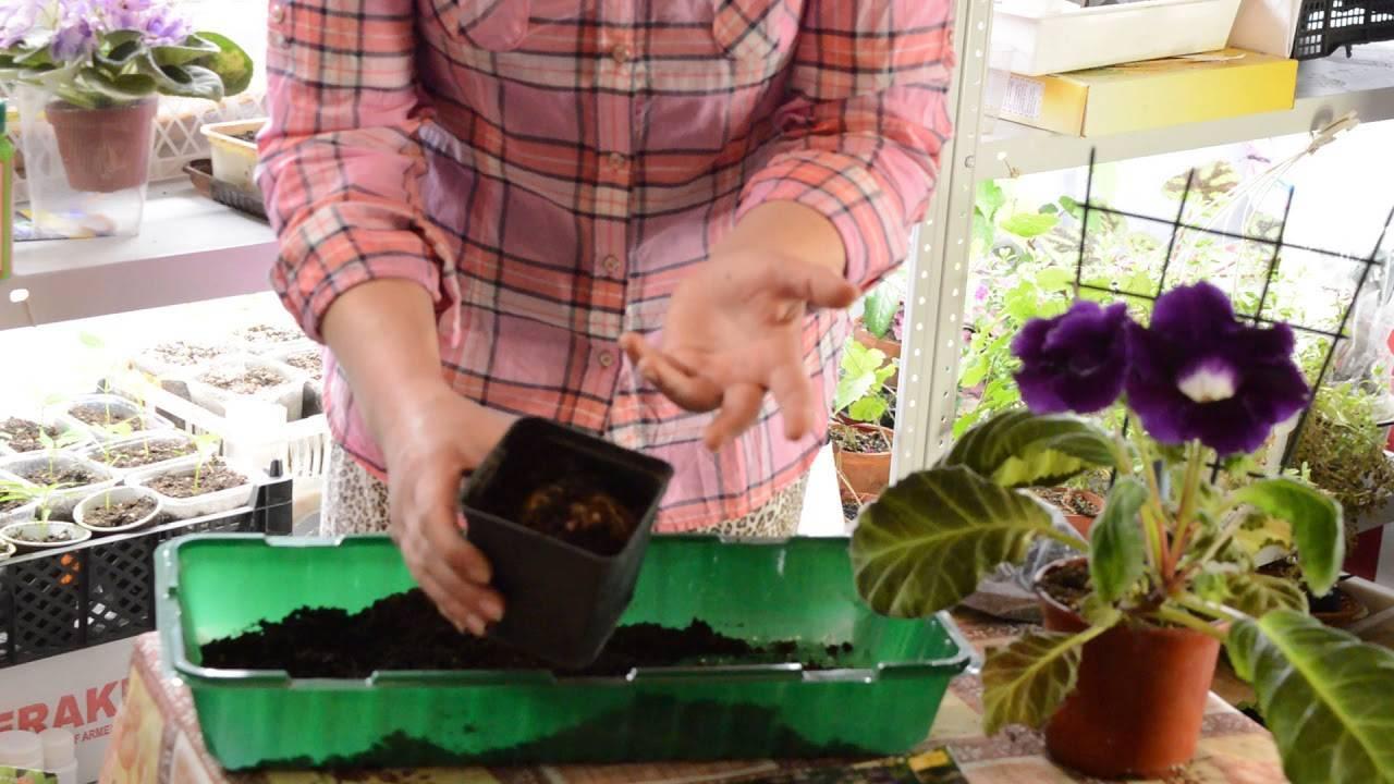 Выращивание глоксинии из семян в домашних условиях - подробная инструкция!