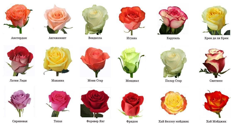 Разведение голландских роз: какие сорта лучше выбирать и как за ними ухаживать