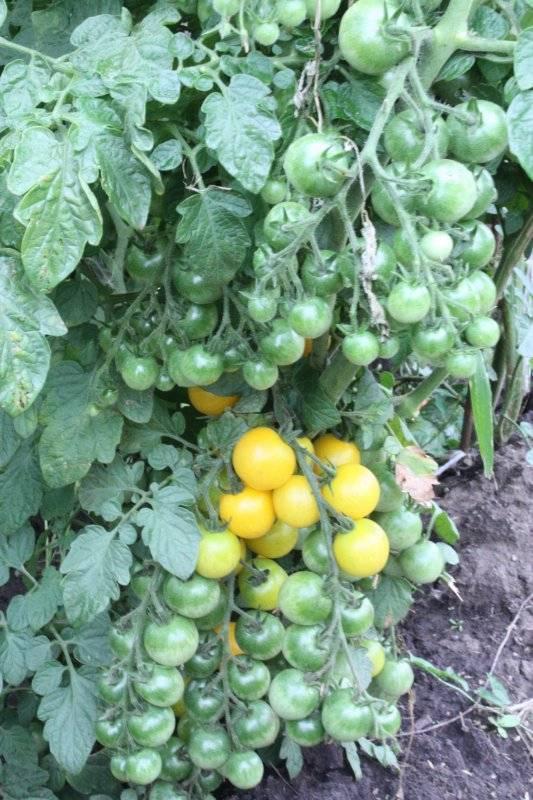 Раннеспелые сорта томатов: алфавитный перечень помидор с рекомендациями по выращиванию в открытом грунте и теплицам