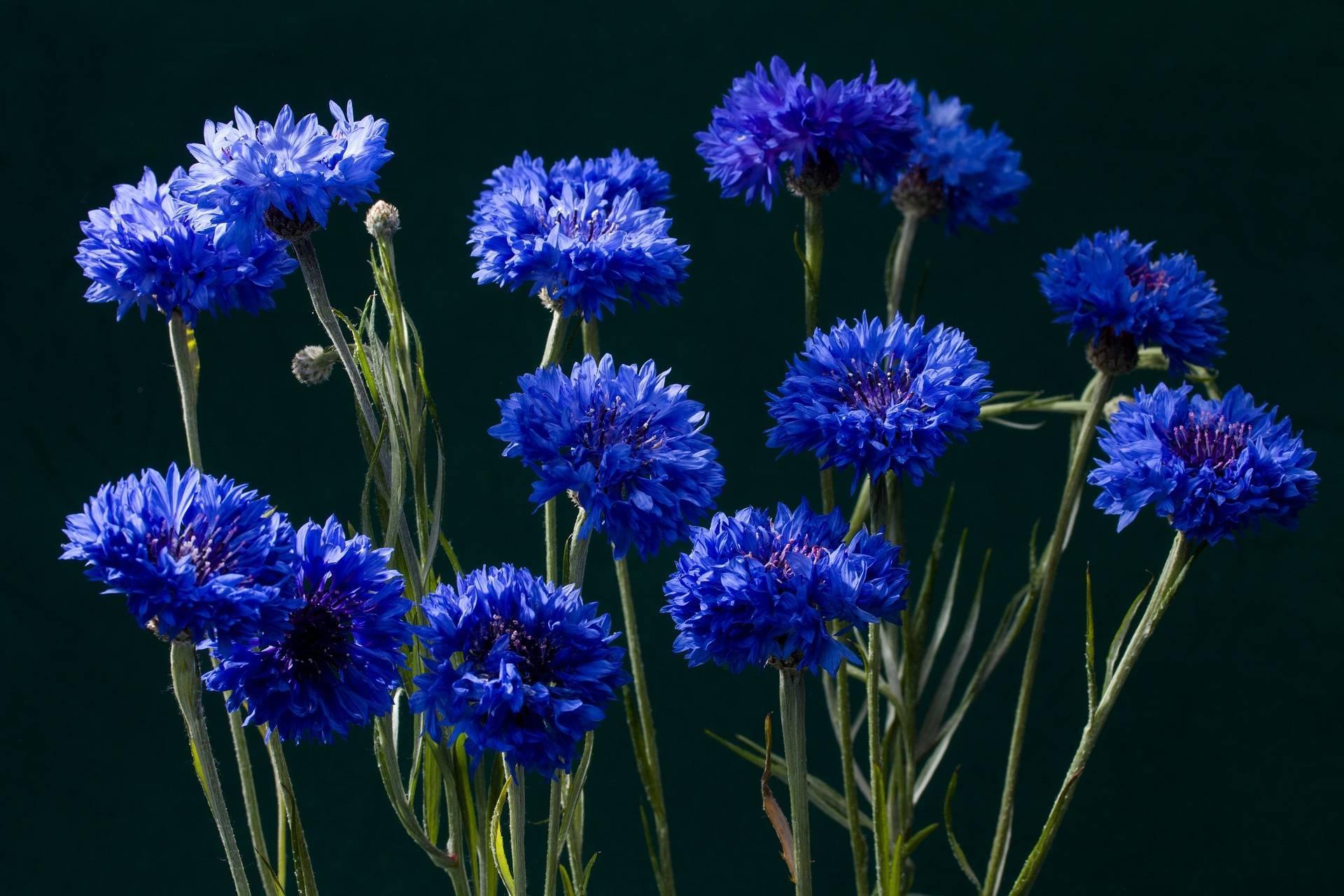 Василек (centaurea): описание и виды цветка на фото